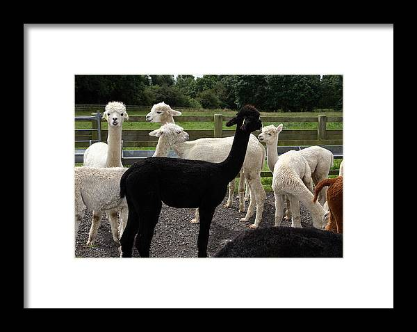 Alpacas Framed Print featuring the photograph Alpacas by David Harding