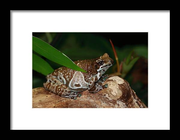 Frog Framed Print featuring the photograph Amazon Milk Frog by Paul Slebodnick