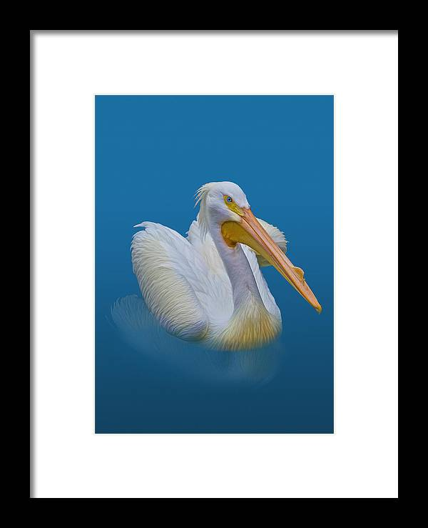 Pelicans Framed Print featuring the photograph American White Pelican by Delores Knowles