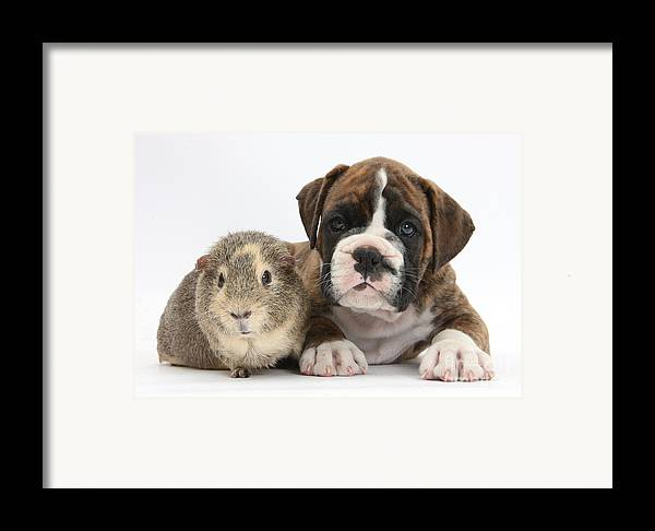 Boxer Framed Print featuring the photograph Boxer Puppy And Guinea Pig by Mark Taylor