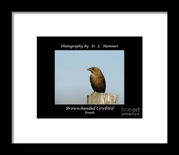 Bird Framed Print featuring the photograph Brown-headed Cowbird by Dennis Hammer