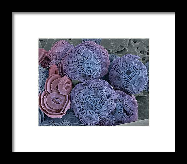 Phytoplankton Framed Print featuring the photograph Calcareous Phytoplankton, Sem by Steve Gschmeissner