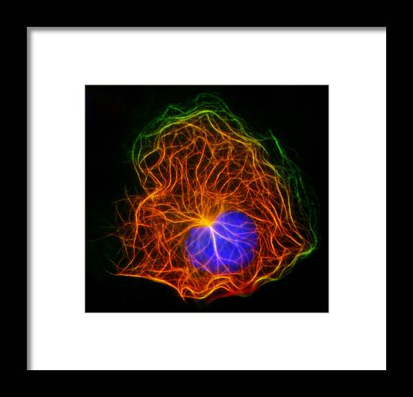Microtubule Framed Print featuring the photograph Cell Structure, Fluorescent Micrograph by Robert Mcneil, Baylor College Of Medicine