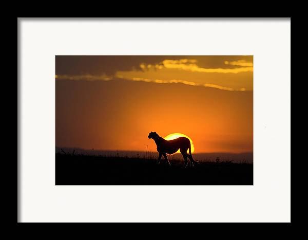 Mp Framed Print featuring the photograph Cheetah Acinonyx Jubatus Female by Suzi Eszterhas