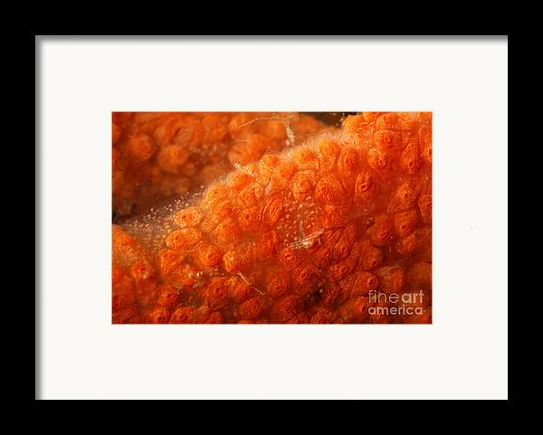 Bowerbank's Halichondria Framed Print featuring the photograph Close-up Of Live Sponge by Ted Kinsman