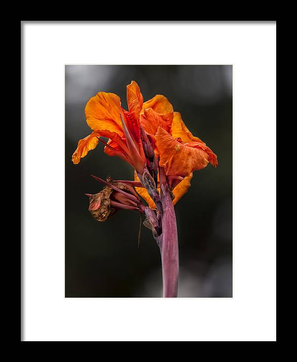 Dying Flower Framed Print featuring the photograph Dying Flower by Robert Ullmann