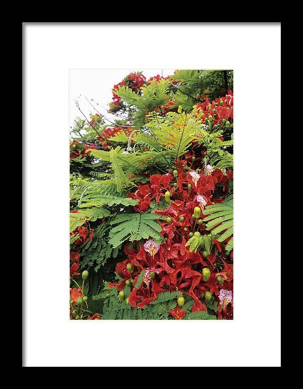 Royal Poinciana Framed Print featuring the photograph Flamboyant Tree by David Nunuk