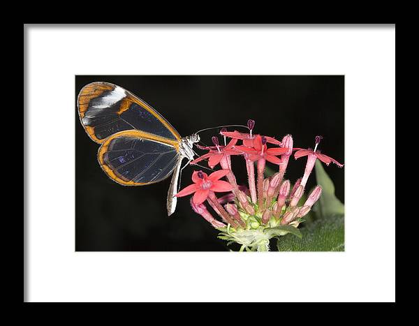 Egyptian Star Cluster Framed Print featuring the photograph Glasswing Butterfly by Power And Syred