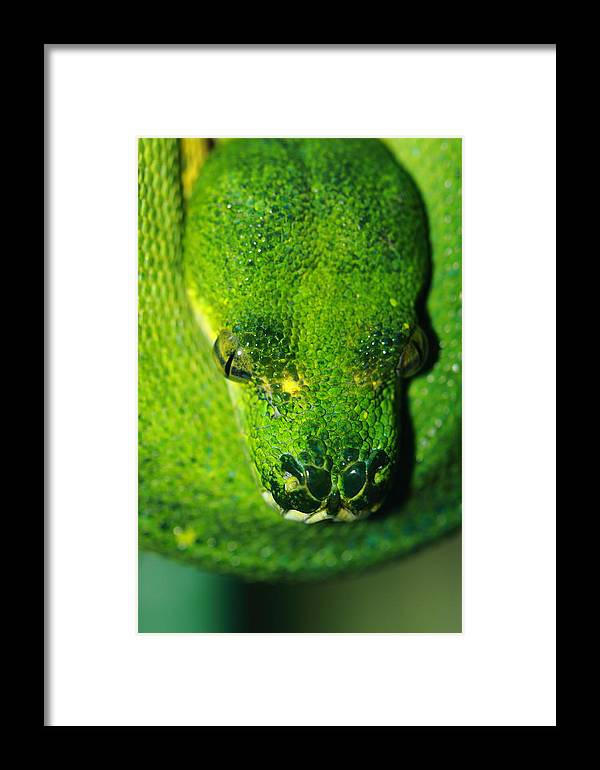 Snake Framed Print featuring the photograph Green Tree Python by Paul Slebodnick