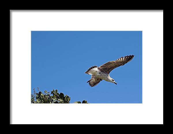 Gull Framed Print featuring the photograph Juvenile Herring Gull by Tony Murtagh