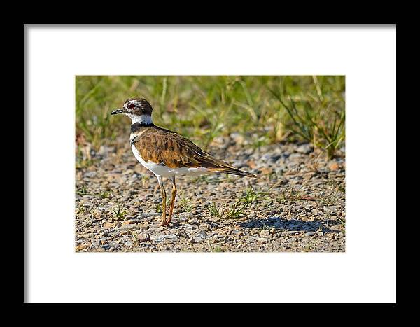 Framed Print featuring the photograph Killdeer by Brian Stevens