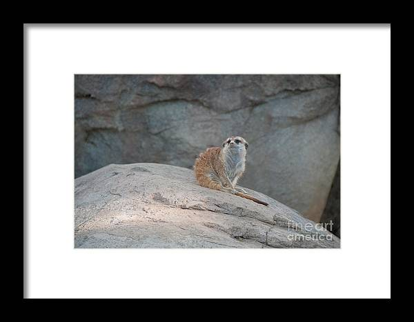 Animals Framed Print featuring the digital art Meerkat by Carol Ailles