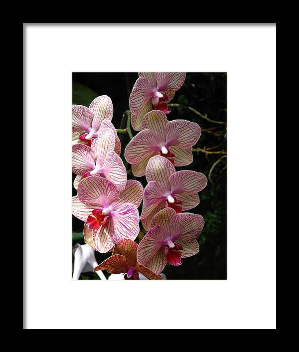 Flower Framed Print featuring the photograph Orchid Cluster by Paul Slebodnick
