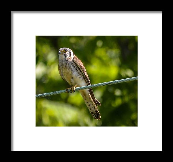 Framed Print featuring the photograph Peregrine Falcon by Brian Stevens