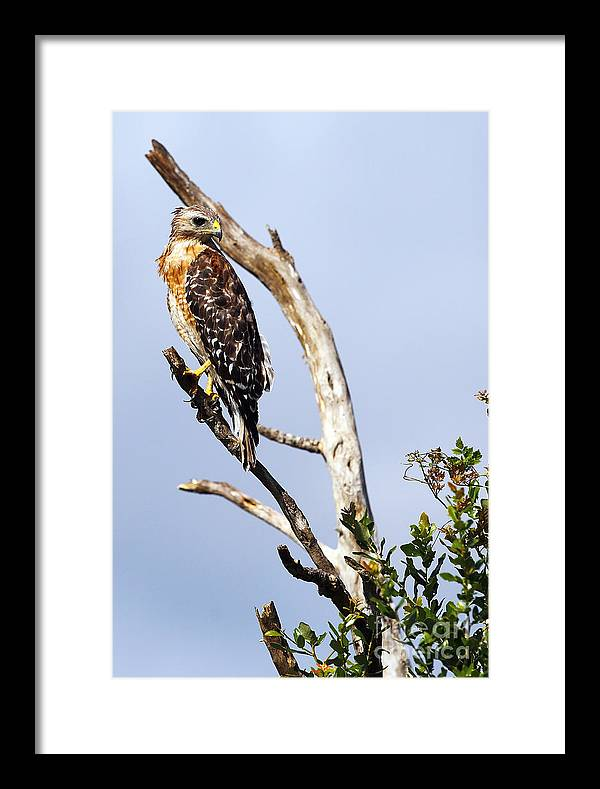 Bird Framed Print featuring the photograph Red Shouldered Hawk by Rick Mann