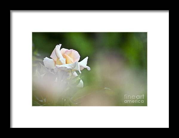 Rose Framed Print featuring the photograph Rose Flower by Heiko Koehrer-Wagner