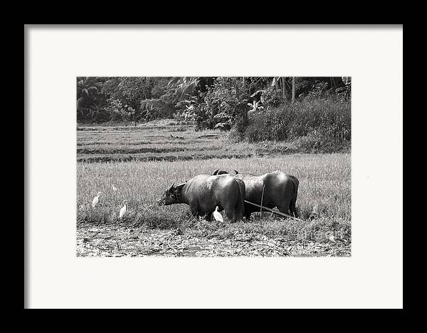 Agriculture Framed Print featuring the photograph Water Buffalo by Jane Rix