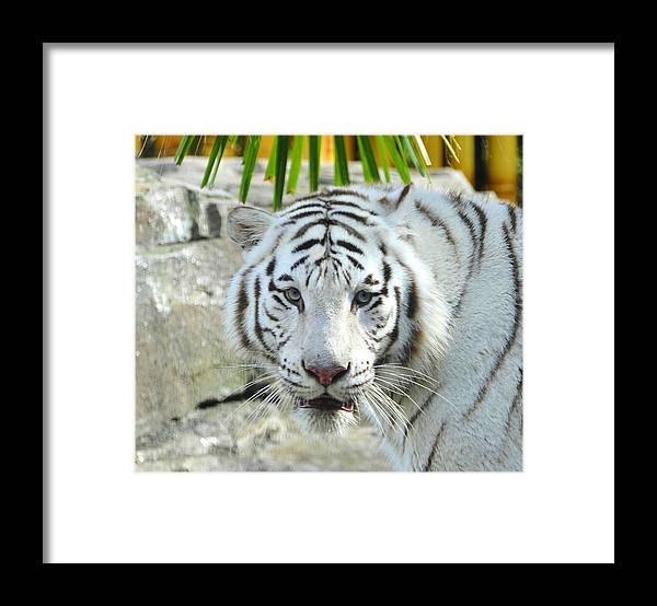 Fine Art Photography Framed Print featuring the photograph White Tiger by David Lee Thompson