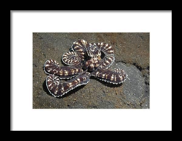 Wonderpus Octopus Framed Print featuring the photograph Wonderpus Octopus by Georgette Douwma