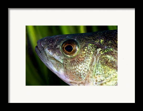 Yellow Perch Framed Print featuring the photograph Yellow Perch Perca Flavescens by Ted Kinsman