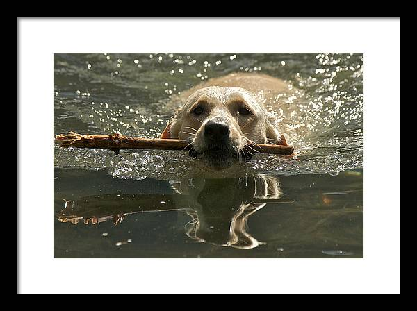 Lake 22 Framed Print featuring the photograph Yellow Labrador by Steven Lapkin