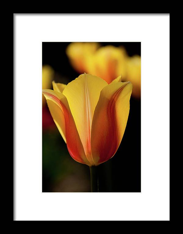2012 Photographs Framed Print featuring the photograph 2012 Tulips 04 by Robert Torkomian