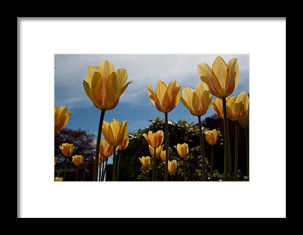 2012 Photographs Framed Print featuring the photograph 2012 Tulips 06 by Robert Torkomian