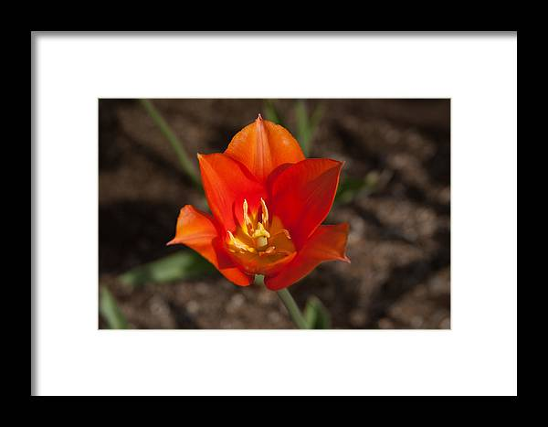 2012 Photographs Framed Print featuring the photograph 2012 Tulips 10 by Robert Torkomian
