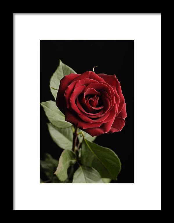 Photography Framed Print featuring the photograph A Red Rose Rosaceae by Joel Sartore