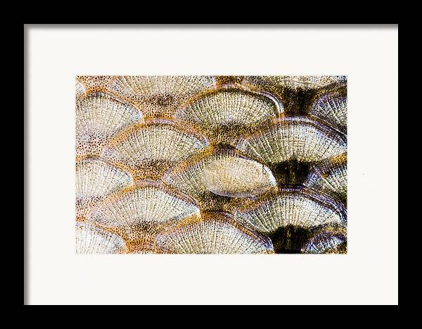 Abstract Framed Print featuring the photograph Fish Scales Background by Odon Czintos