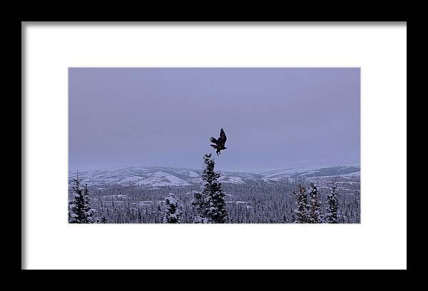 Alaska Framed Print featuring the photograph Golden Eagle Taking Flight by Jim and Kim Shivers