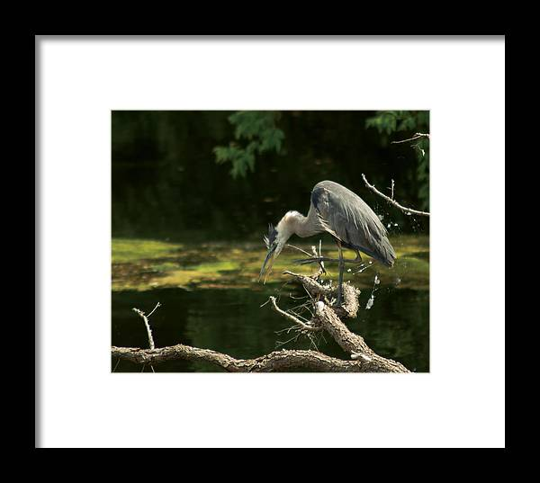 Framed Print featuring the photograph Great Blue Heron by Josef Pittner