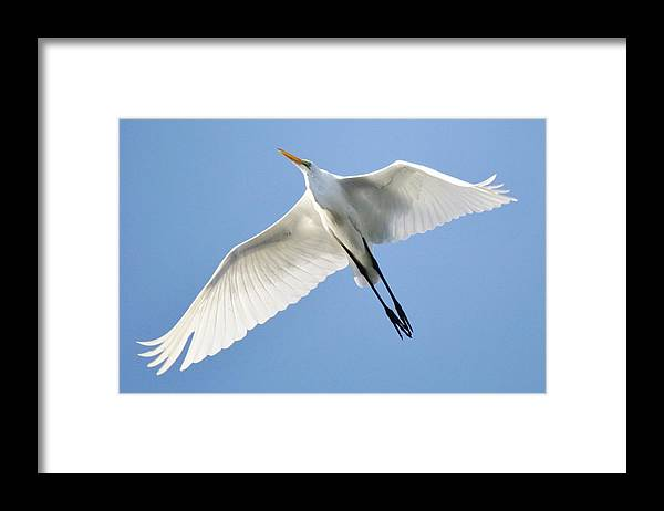 Great White Egret Framed Print featuring the photograph Great White Egret In Flight by Paulette Thomas