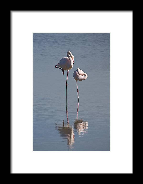 Mp Framed Print featuring the photograph Greater Flamingo Phoenicopterus Ruber by Konrad Wothe