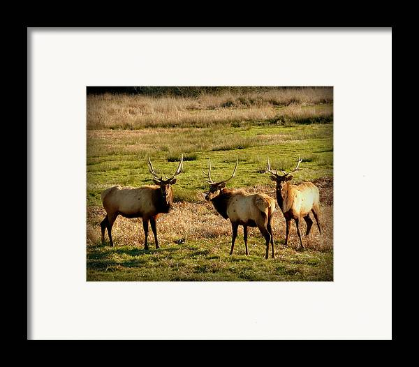 Cindy Framed Print featuring the photograph 3 Magnificent Bull Elk by Cindy Wright