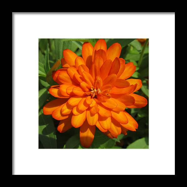 Flowers Framed Print featuring the photograph Orange Flower by Michele Caporaso