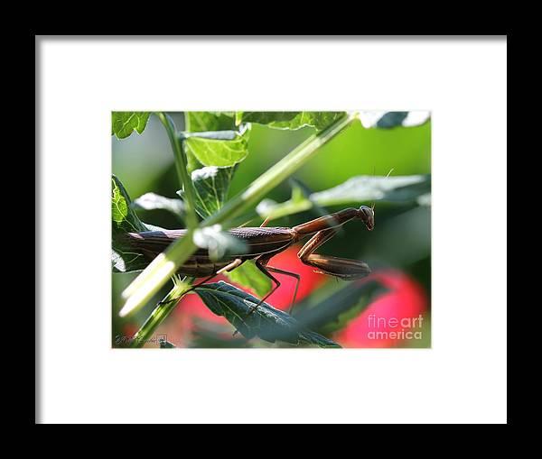 Praying Mantis Framed Print featuring the photograph Praying Mantis by J McCombie