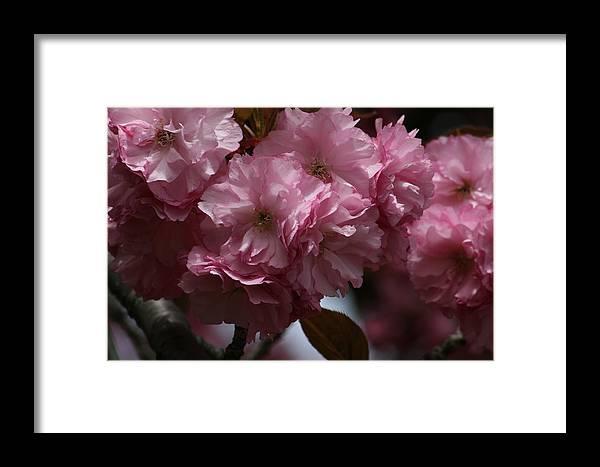 Nature Framed Print featuring the photograph Precious Cherry Blossom by Valia Bradshaw