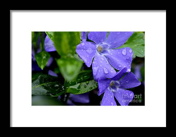 Myrtle Framed Print featuring the photograph Raindrops On Sorcerers Violet by Thomas R Fletcher