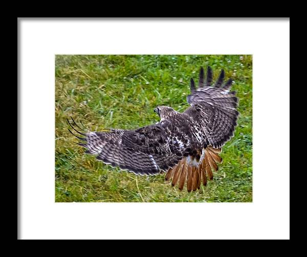 Framed Print featuring the photograph Red-tailed Hawk by Brian Stevens