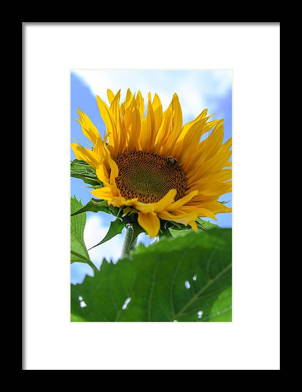 Orange Framed Print featuring the photograph Sunflower by Michael Goyberg