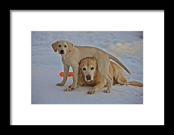 Nature Framed Print featuring the photograph Yellow Labradors by Steven Lapkin