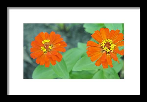Framed Print featuring the photograph Zinnia by Gornganogphatchara Kalapun