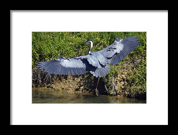 Framed Print featuring the photograph Great Blue Heron by Brian Stevens