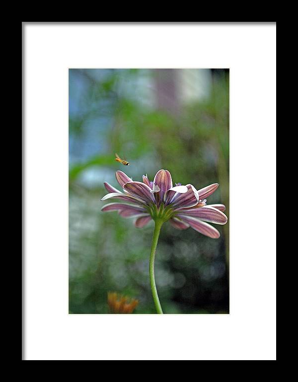3d Daisy Framed Print featuring the photograph 3d Daisy With Bee by Judith Schindler Domser