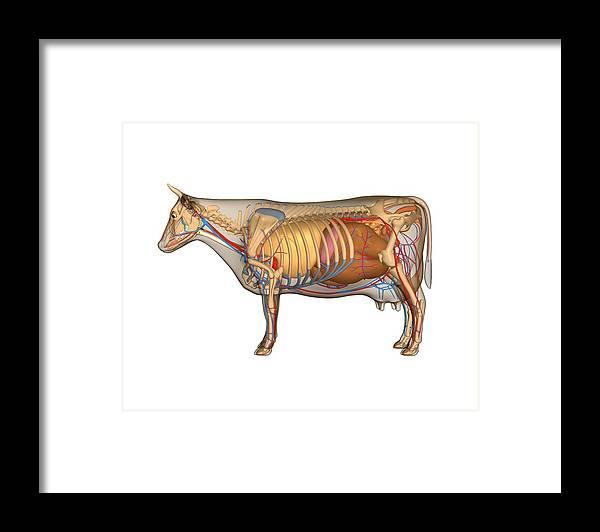 Cow Anatomy, Artwork Framed Print by Friedrich Saurer