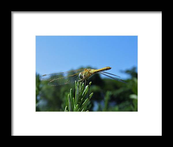 Dragonfly; Garden; Rosemary Insect; Green; Plant; Nature; Sunlight; Macro; Blue; Eyes; Wings; Sky; Summer; Warm; Herb; Background; Decorative; Framed Print featuring the photograph Dragonfly by Werner Lehmann