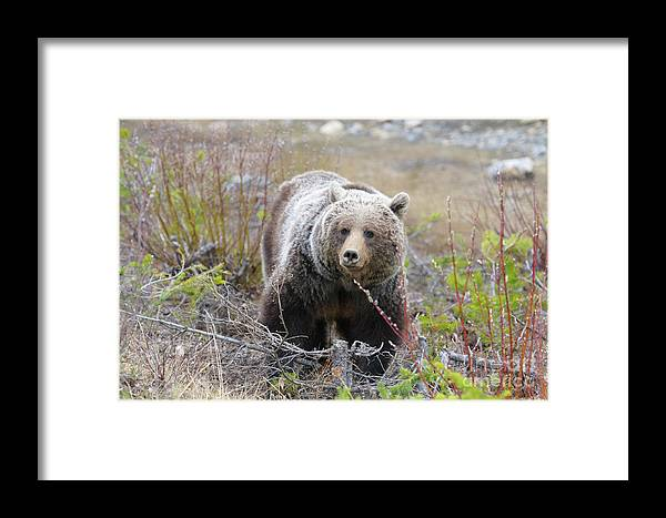 Alberta Framed Print featuring the photograph Grizzly Bear by Ginevre Smith