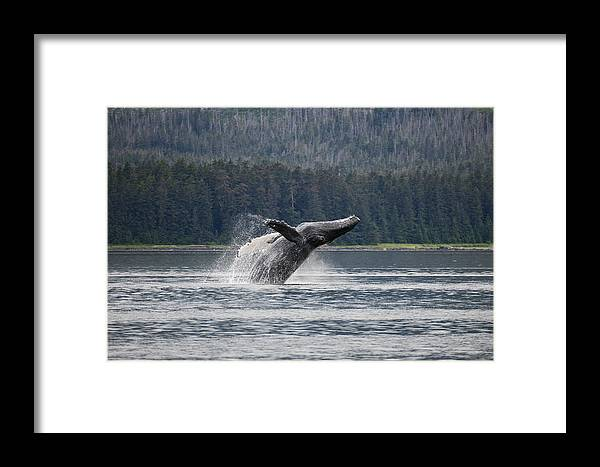 Mp Framed Print featuring the photograph Humpback Whale Megaptera Novaeangliae by Konrad Wothe