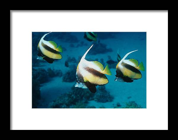 Heniochus Intermedius Framed Print featuring the photograph Red Sea Bannerfish by Georgette Douwma